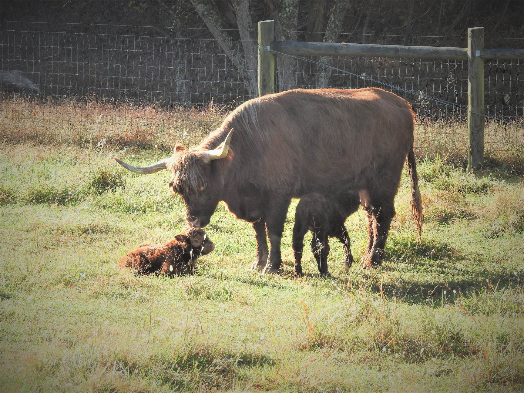 Highland cow with twins at Elm Hollow Farm