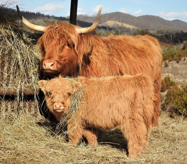 Highland cow calf pair at the hay feeder