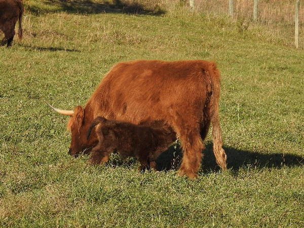Baby Highland cow on her first day of life with mama in the field