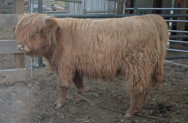 Yellow Highland bull calf named Bonus shown at 9 months old with halter