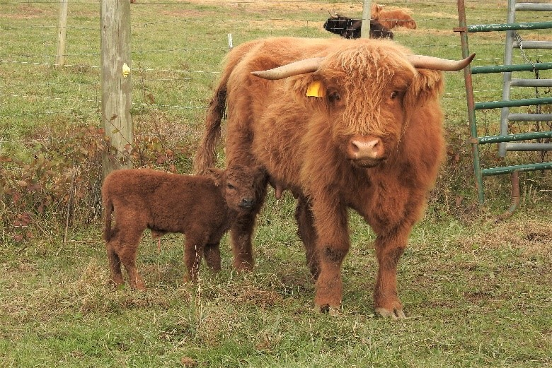 Red Highland cow named Callie with her young calf at her side