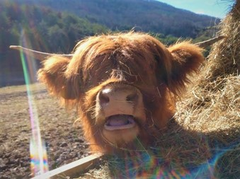 Closeup of face of Highland cow named Anne with a big smile on her face