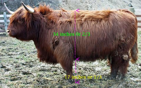 Deep bodied Highland bull at three years old