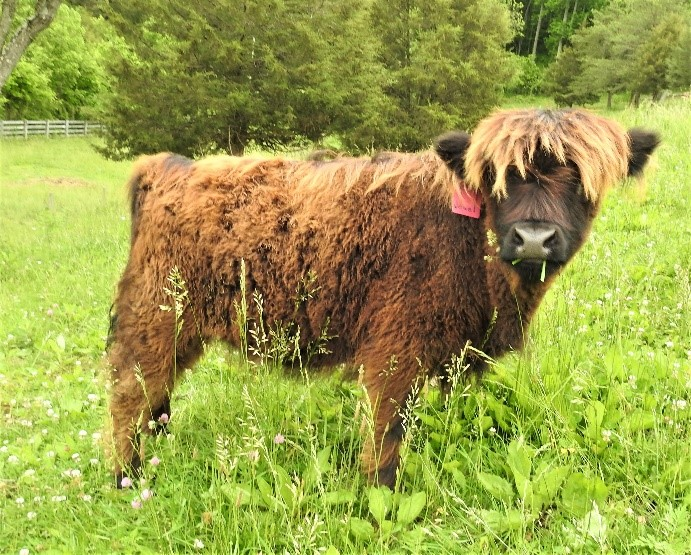 Fluffy 6 month old Highland Calf with blond highlights but definitely turning black