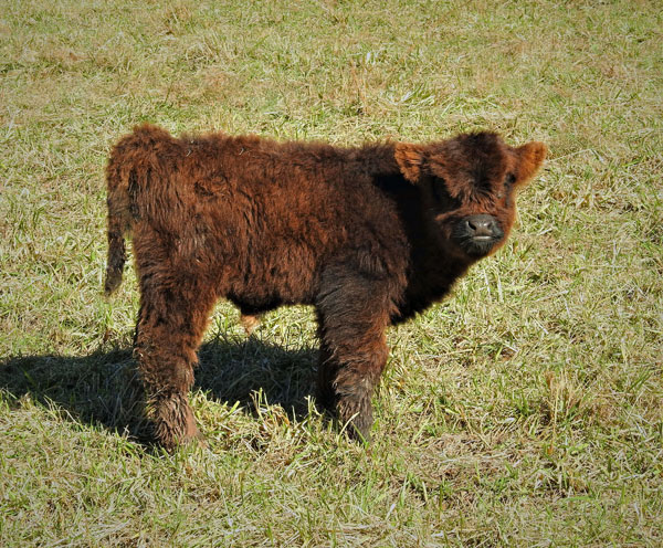 Highland calf Glenn at one week old at Elm Hollow Farm in Tennessee