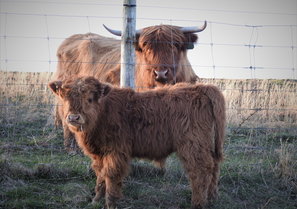 Highland Calf Gordon show with his mother Ruby
