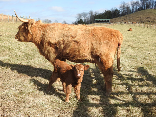 Newborn Highland Calf with Mother at Elm Hollow Farm