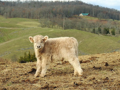 Small White Highland Calf Standing On Hill