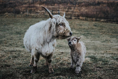 Highland Cattle, Picture of a Cow Calf Pair With White and Grey Hair