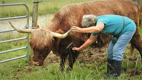 Nancy Geller brushing out a Highland cow