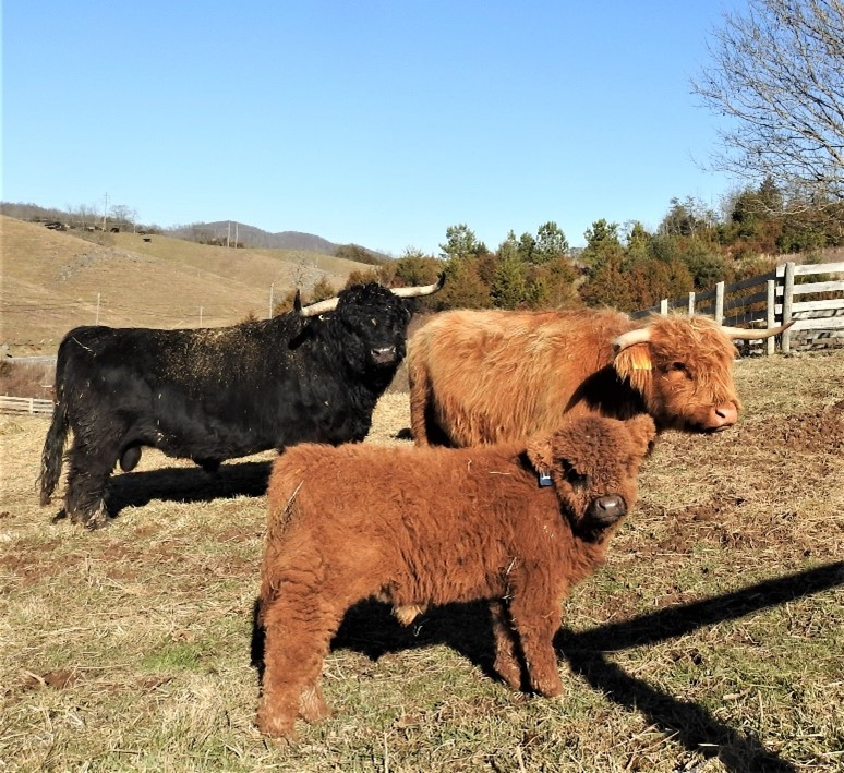 Highland bull calf with parents at pasture several months old