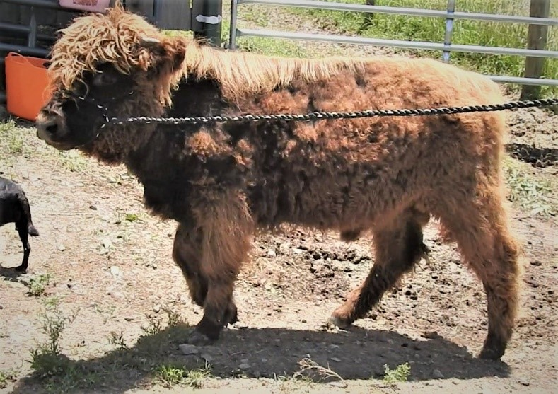 Fuzzy Highland bull calf on a halter shedding baby fur and turning black