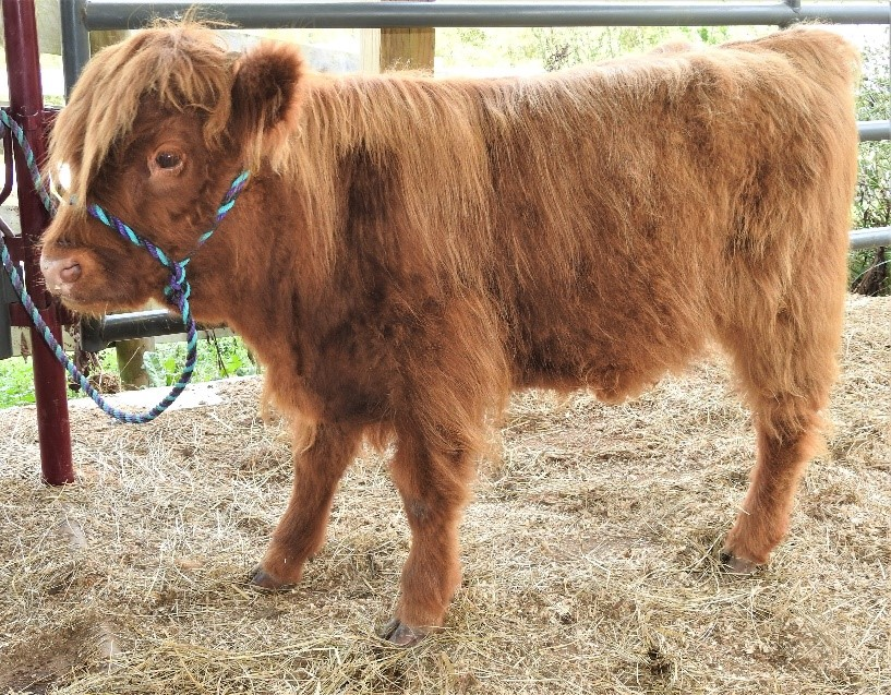 Highland calf named Koko being haltered trained with very long shaggy fur