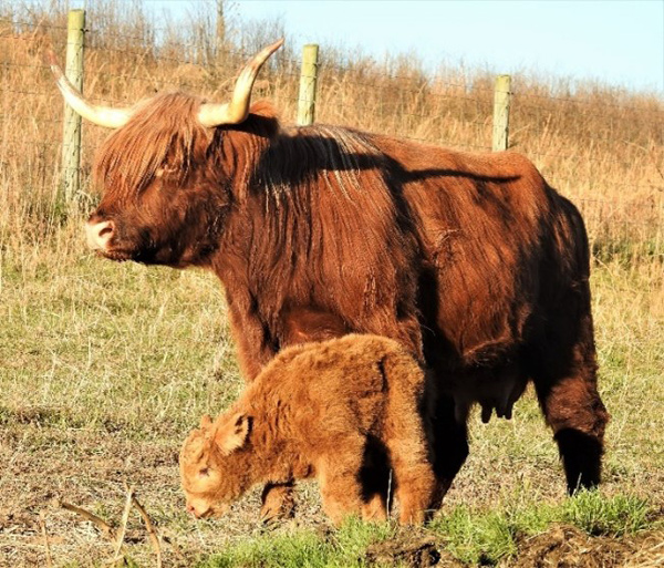 """Highland calf """"Jaxon"""" just a few days old with mother"""