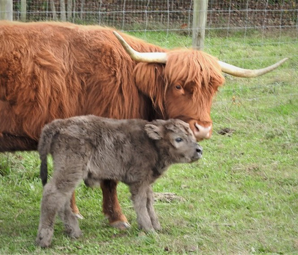 Highland calf named Joshua on his birth day with mama cow
