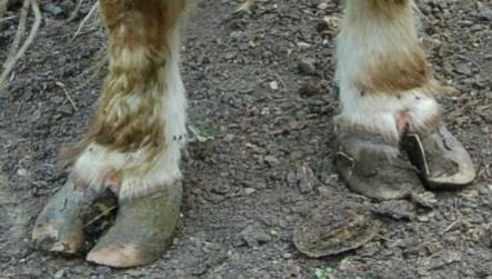 Bad feet on Highland cattle example