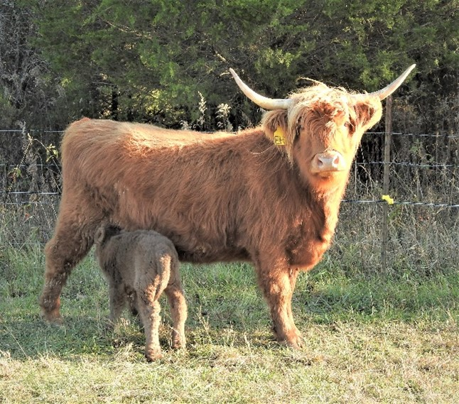 Highland cow with young calf drinking from her