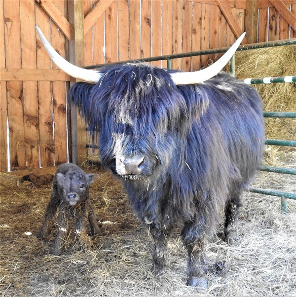 Highland cow calf pair on the day of the bull calf's birth