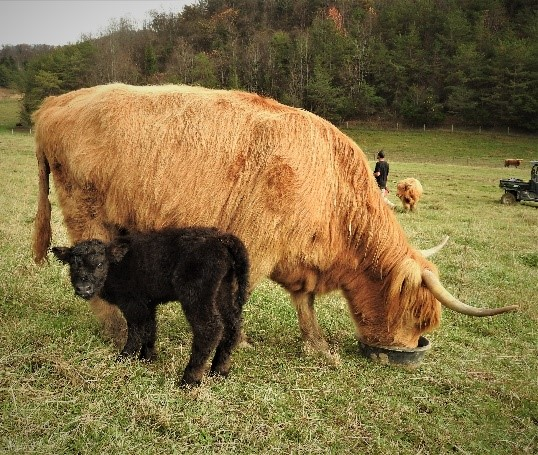Highland cow with little baby black calf named Jetta in the pasture enjoying mineral supplement from tub
