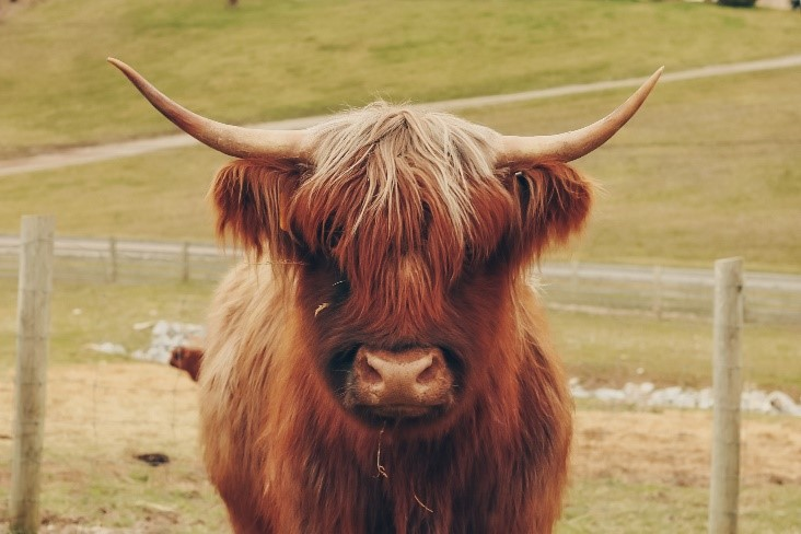Highland cow named Avon red with blonde bangs staring straight at camera