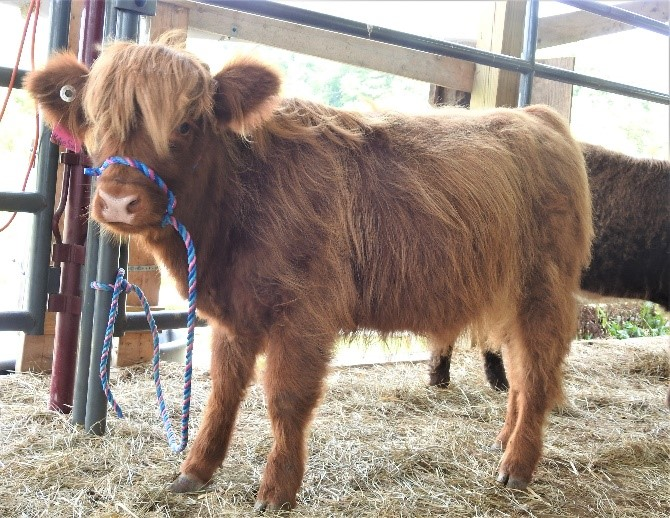 Red Highland heifer calf named Katie Sue reluctantly being halter trained