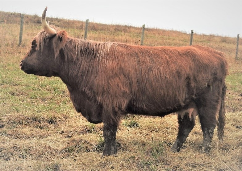 Large red Highland cow