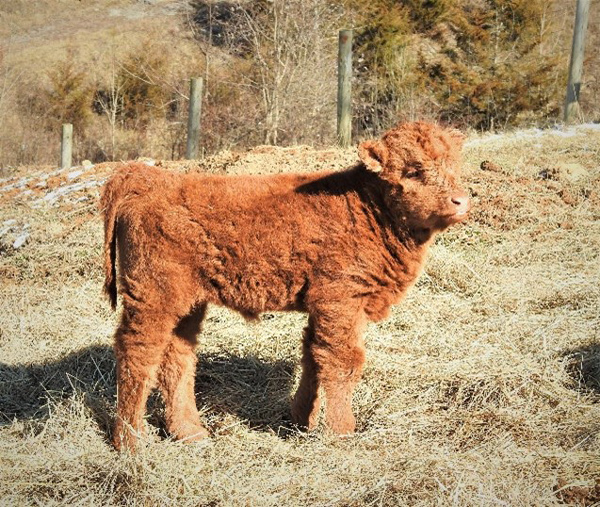 One month old red highland calf