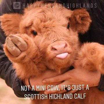 Infographic explaining that Highland calf is not a mini its just a calf