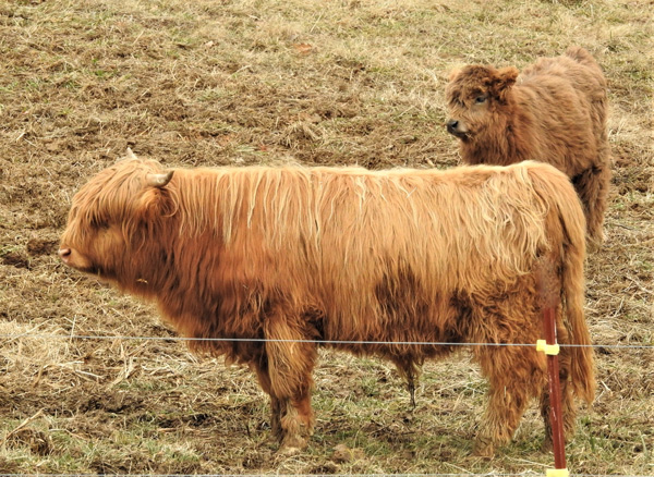 Profile of registered Highland bull O'Ganach of Elm Hollow Farm showing exemplary structure