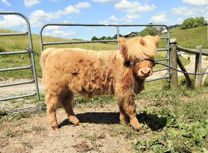 Thick dossan on a yellow Highland calf being halter trained