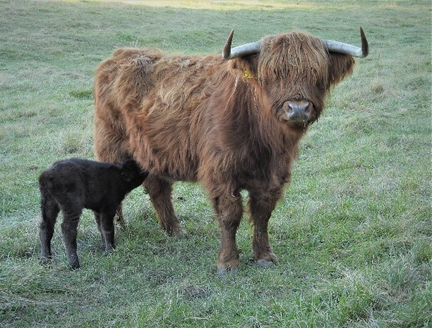 Highland bull calf on his first day having a drink of milk from mom