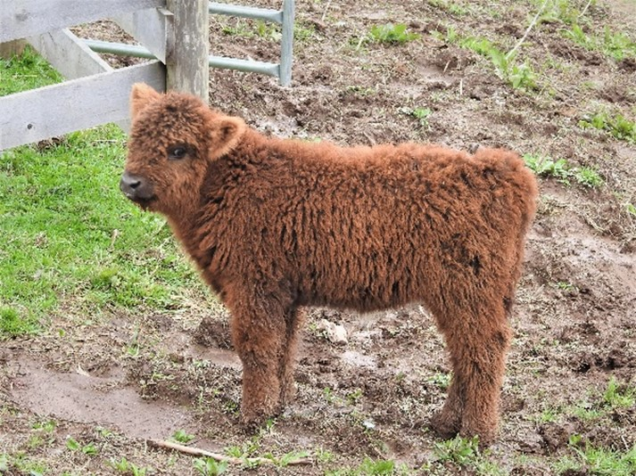 Red Highland calf about one week old at Elm Hollow Farm