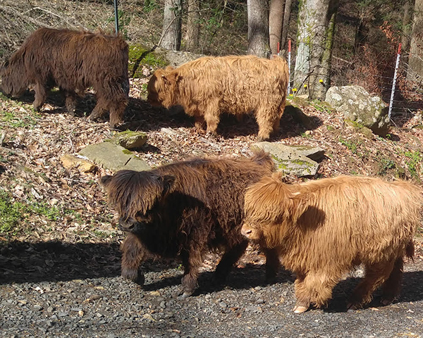 Four Highland calves sired by Big Ridge Voodoo Magic